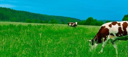 Tráva roste jako kráva